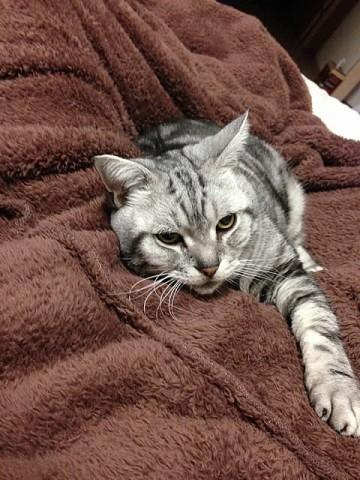 毛布が恋しいネコ