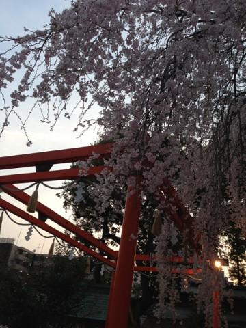 鳥居に枝垂れ桜