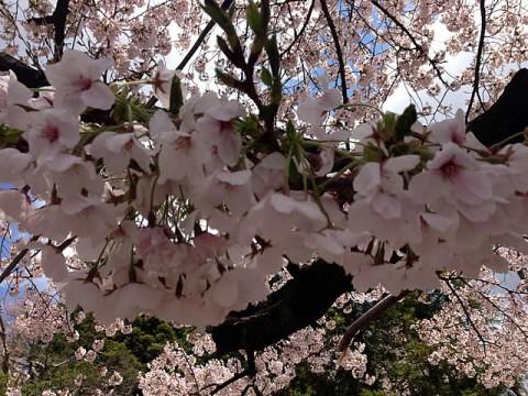 2013/4/19東照宮の桜3