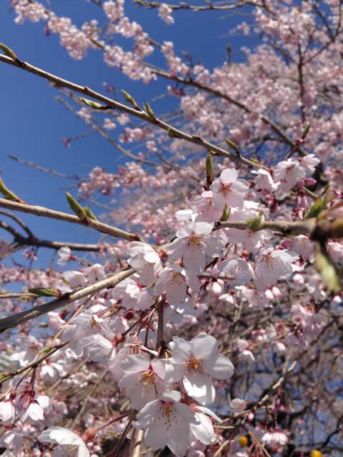 仙台榴ヶ岡公園の桜
