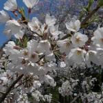 榴岡公園の桜は例年通りに咲いています