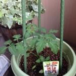 ベランダ菜園トマトの実がなりはじめた