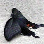蝶?それとも蛾?蝶でした