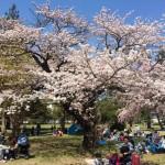 今年の仙台の桜は早い