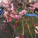 満開です。榴岡公園の桜2017